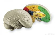 Creierul uman din burete