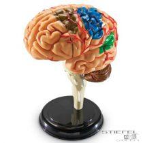 Puzzle model biologic - Creierul