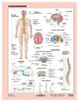 Az idegrendszer fixi tanulói munkalap- Sistemul nervos  fișă de lucru FIXI
