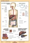 FIXI - Sistemul digestiv